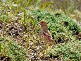 Crimson Winged Finch