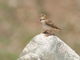 Bimaculated Lark