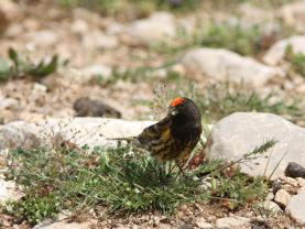 Red Fronted Serin